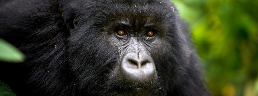 gorilla-trekking-rwanda1